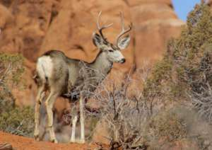 Mule Deer rely on sparse desert resources