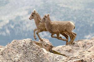 Bighorn Lambs, Photo by Liz Noffsinger