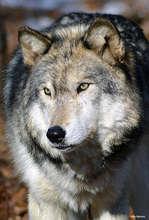 Gray Wolf, Photo by Ray Massey