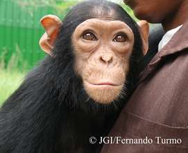 Motambo the chimpanzee