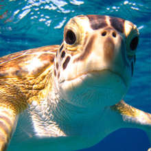 Sea Turtle in the Bahamas - Earthwatch Institute