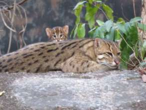 A fishing cat and her baby