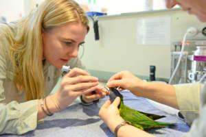 Dr Rebecca examining a rainbow lorikeet