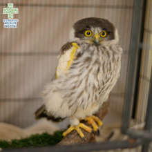 Caesar the Barking Owl with a bandaged wing