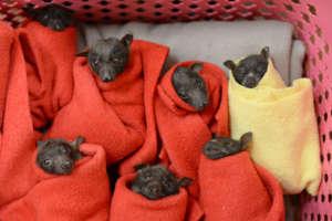Flying Fox Pups