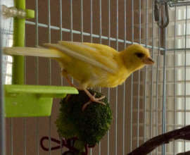 Curtis the Canary
