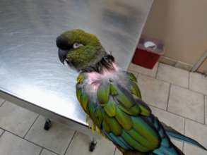 Charlie, a Patagonian Conure, at the vet