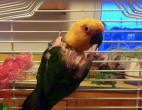 Rainbow, rescued Jenday Conure