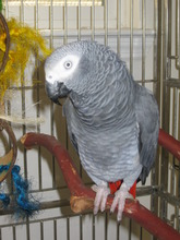 Lia, an African Grey with continual surgical needs