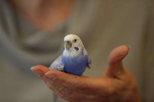 Budgie Cradled in Hand