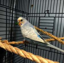 Moon, male budgie