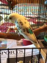 Budgie surrendered by shelter, 8/2016