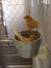 Two of the canaries - after rescue