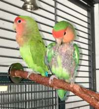 Dad and Mom lovebirds - Beryl and Kita