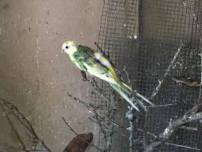 Parakeet - before rescue