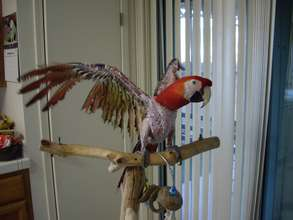 King, one of our many rescued macaws