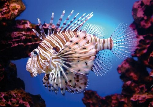 Controlling Lion Fish Invasion in the Caribbean
