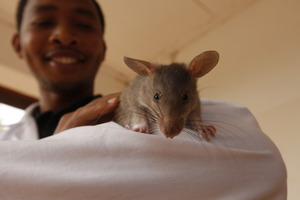 Young TB-sniffing HeroRAT