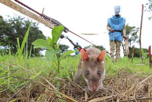HeroRAT clearing mine contaminated land