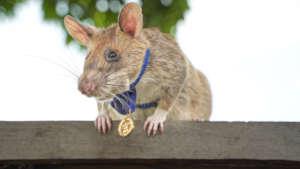 Magawa and his gold medal.