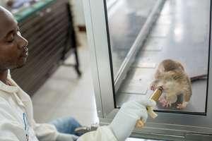 TB detection rat receiving a reward (Briana Marie)
