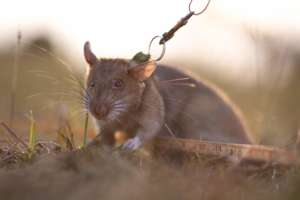 Our new HeroRAT, Ronin available for adoption.
