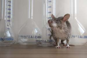 TB Detection Rat Genovive in the lab