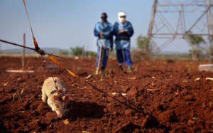 HeroRATs Sniffing Out Mines