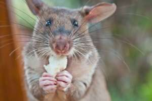 HeroRAT Birthday Feast
