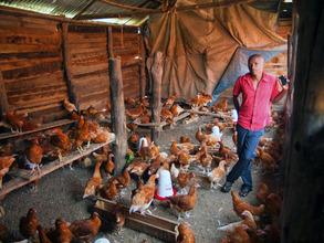 Chickens at Desire Farm