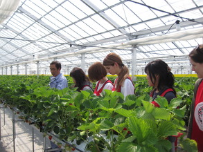 Volunteers helping out at a strawberry farm