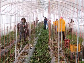 Helping winterize Saito-san's green house