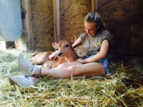Caring for the baby calf
