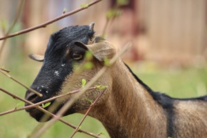 Act4Africa's Goats for Girls programme