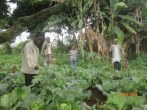 An organic cabbage garden