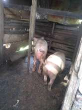Magdaline's pigs
