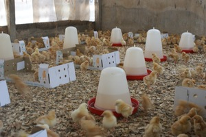 Our new family: 1000 chicks for sustainability