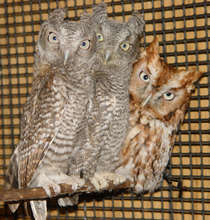 Screech owl (This is Benjamin; Robbie was busy)
