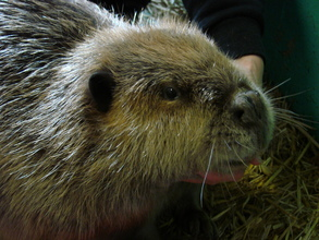 Male Beaver while in care