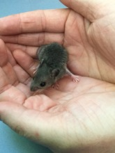 White-footed Mouse raised from injured orphan