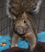 Grey squirrel (admitted with head injury)