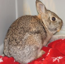 Cottontail rabbit (head injury; hit by a car)