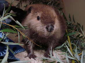 Female Beaver at one month old