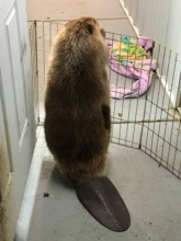 Female beaver watching for male 'play date'