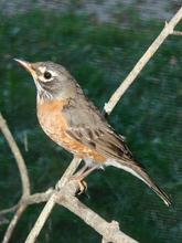 Robin release
