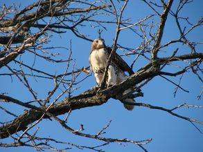 Release of Red-tailed Hawk