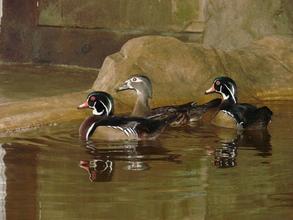 Wood ducks soon to be released