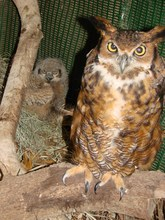 Great-horned owl (Me and one of my babies)