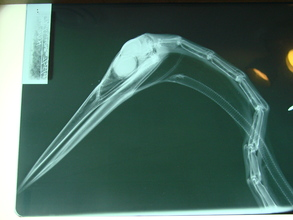 Head and neck of Great Blue heron