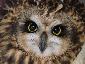 Short-eared owl (Amelia has modeled in the past)